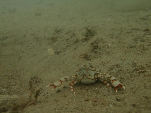 Photo of <i>Coleusia magna</i> on sandy substrate