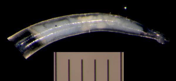 Image of <i>Parastrophia queenslandica</i> from Montebello Islands, WA