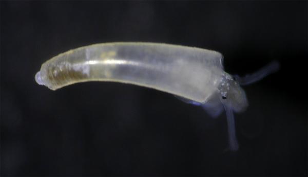 Image of <i>Caecum</i> cf. <i>virginiae</i> from Montebello Islands, WA