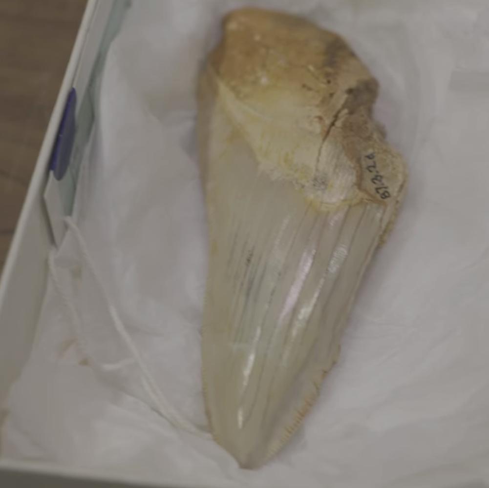 Megalodon Fossil