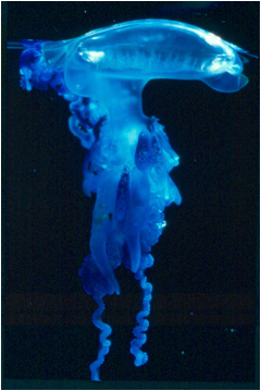 A bluebottle stinger floating in water