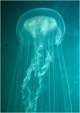 A sea jelly swimming upwards to the surface