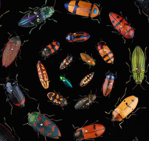 Buprestidae beeetles