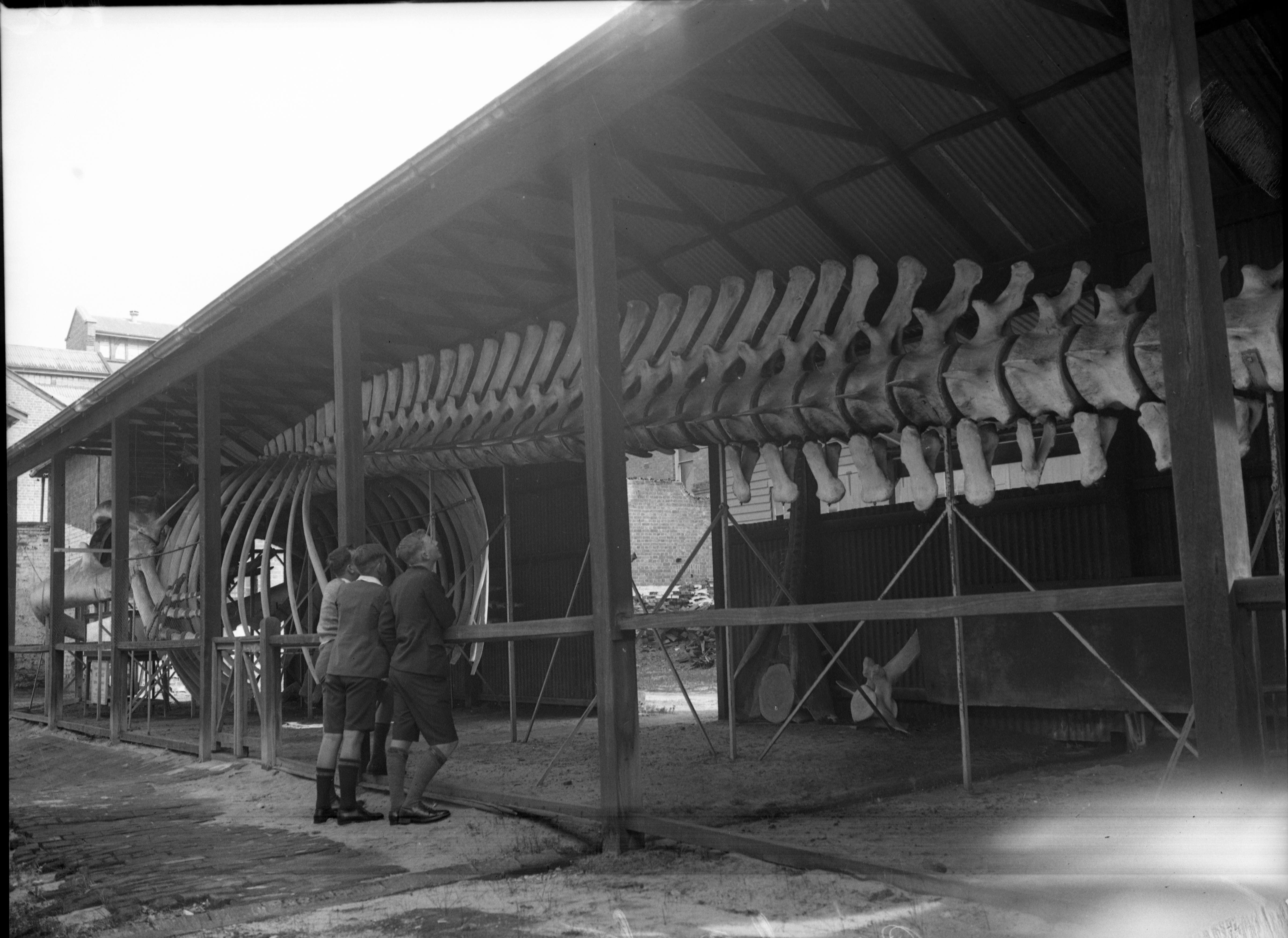 A black and white photo of a giant whale in a shed, three boys look on.
