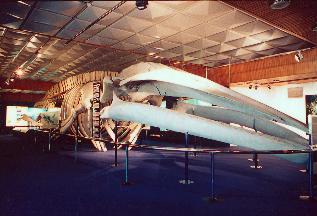 A large blue whale sits in a 1970s style room with blue carpet.