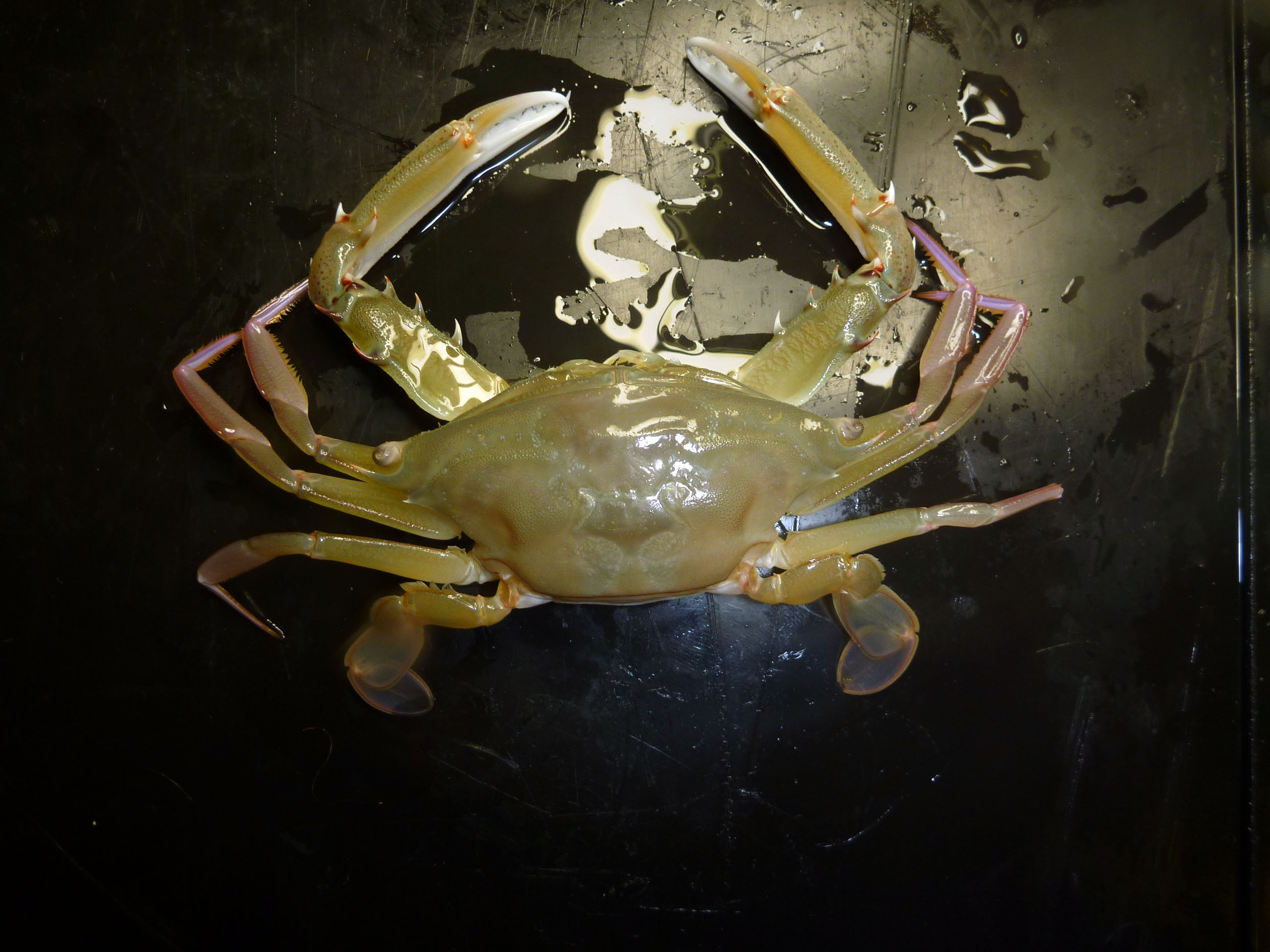 A female long-eyed swimmer crab.