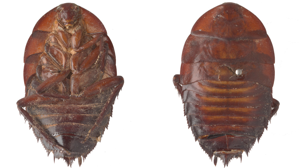 Image of Platyzosteria latissima a holotype from the Entomology Collection