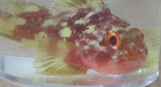 Yellow Spotted Scorpion fish in a glass jar