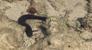 A sea cucumber on the sea shore