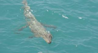 A crocodile swimming