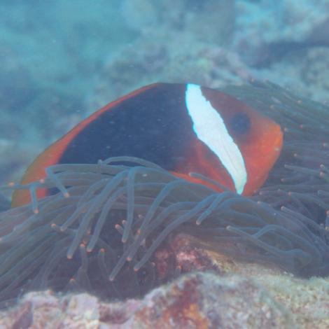 Image of an Australian Anemonefish