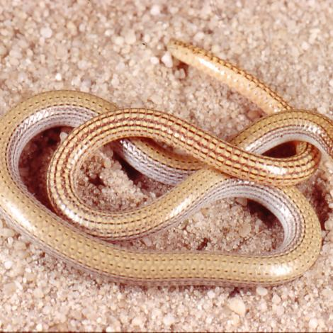 Image of a Sand-plain Worm Lizard