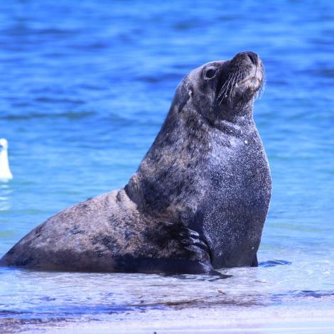 Image of an Australian Sea Lion