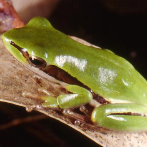 Image of a Slender Tree Frog