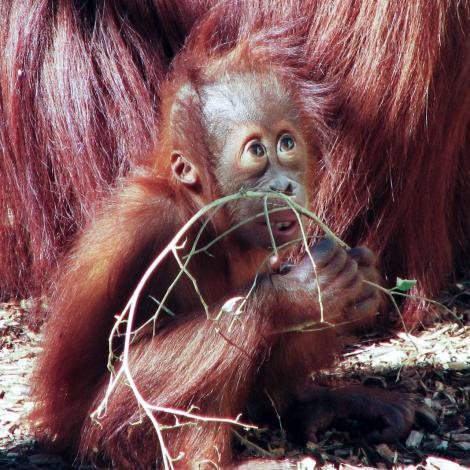 A young orang-utan
