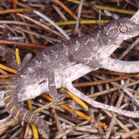 Image of a Spiny-tailed Gecko