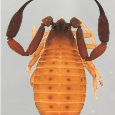 Image of Christopher Darwin's Pseudoscorpion