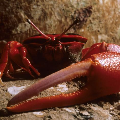 Image of Flame-backed Fiddler Crab