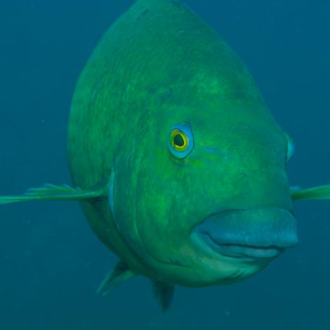 Image of a Western Blue Groper