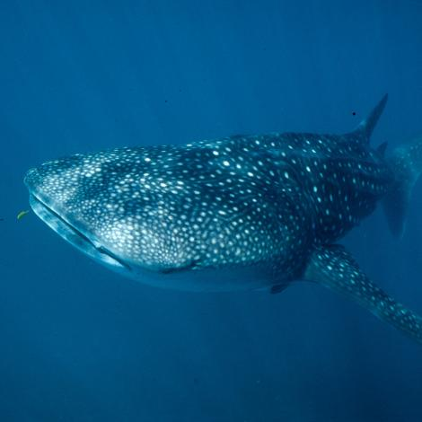 Image of a Whale Shark