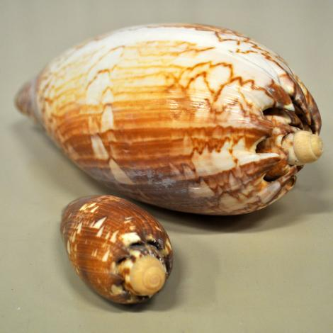 Two baler shell specimens