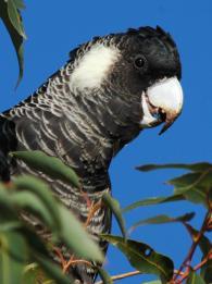 Baudin's Cockatoo - female