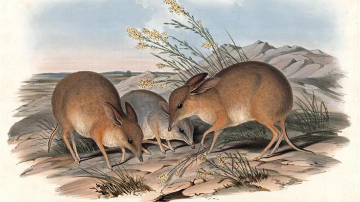 An artwork representing the Pig-footed Bandicoot, published in Gould's Mammals of Australia (1845).