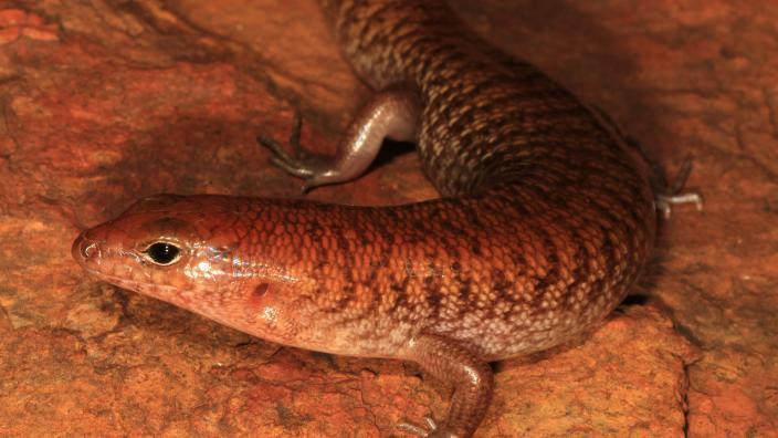 Rusty skink (Eremiascincus rubiginosus) Image copyright Ryan Ellis/WA Museum