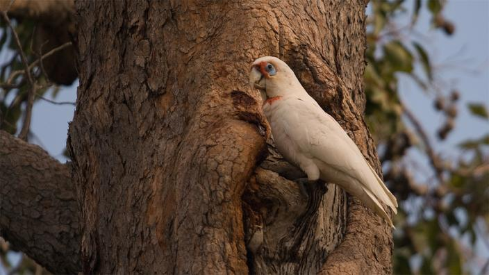 Eastern Long-billed Corella. Photo by Tony Kirkby
