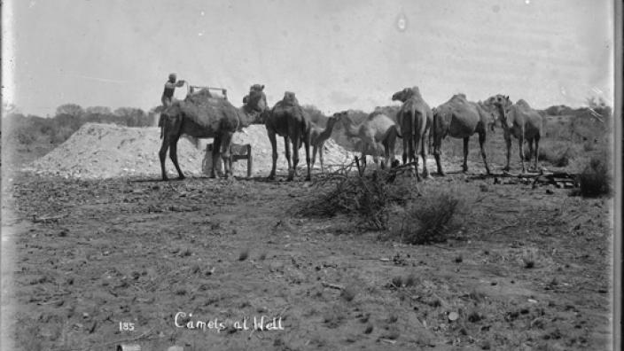 Monochrome photograph of cameleer pumping water for camels, c.1900s