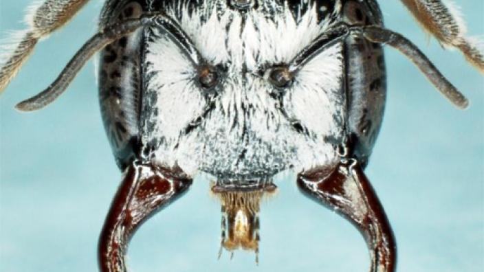 Close up view of the male megamouth bee showing facial features