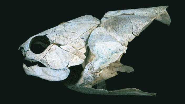 A fossilised fish skeleton