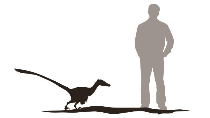 Velociraptor stands 0.8m high