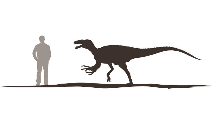 Australovenator as tall as a human
