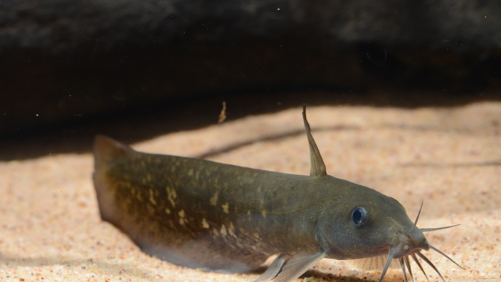 An eel-tailed catfish Neosilurus sp