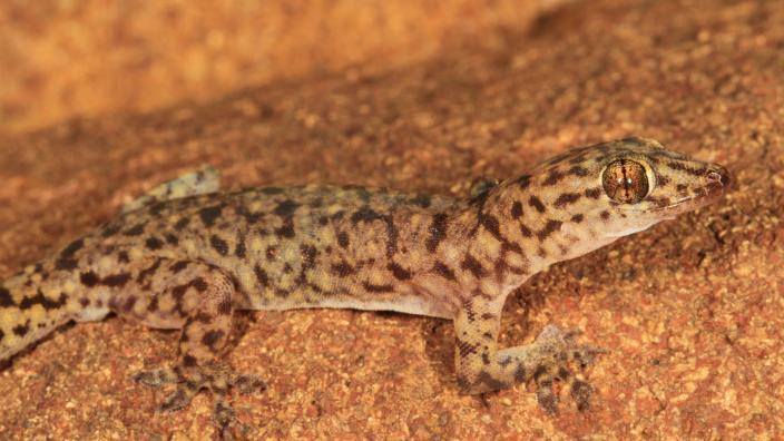 Northern Kimberley gecko (Gehyra pluraporosa) Copyright Ryan Ellis/WA Museum