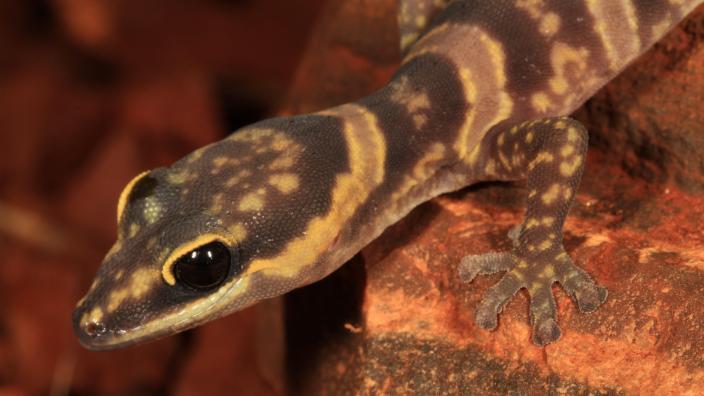 Western Marbled Velvet Gecko (Oedura fimbria)