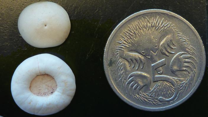 Two gastroliths collected from near Lake Yindarlgooda