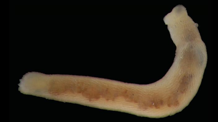 An unusual worm-like mollusc