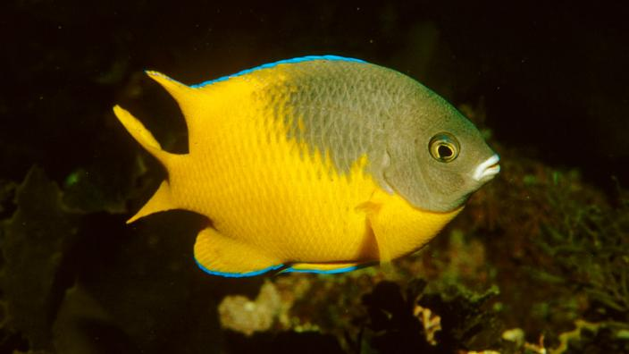 A large yellow, colourful fish swimming