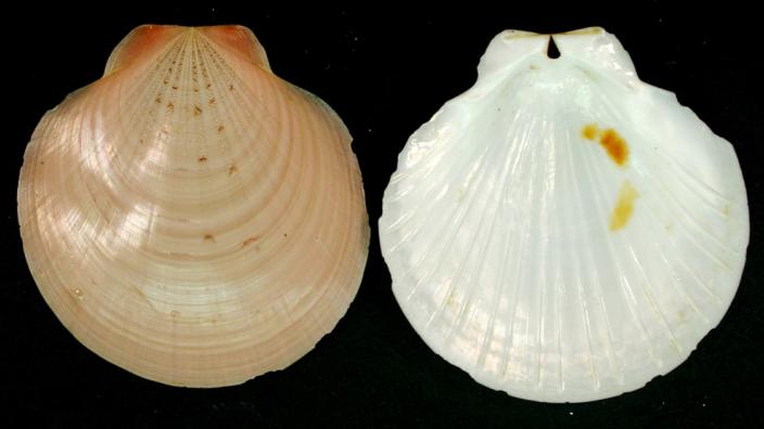 Two halves of a mollusc shell