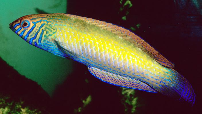A colourful fish swimming near some water plants