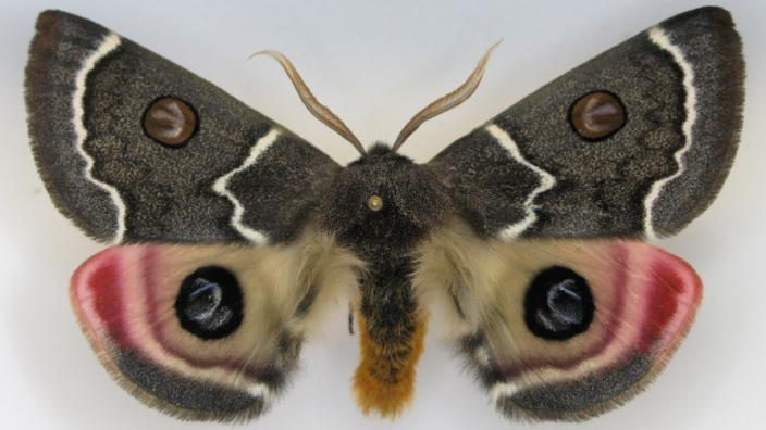 """A spectacular moth with camouflaged """"eyes"""" on its wings"""