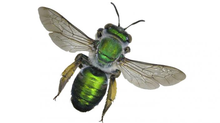 A large green bee on a plain white background