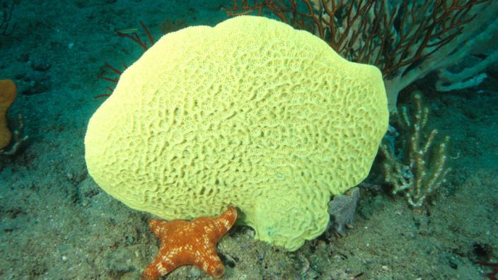 A large yellow sponge on the sea floor