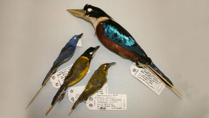 A series of preserved bird specimens collected from Indonesia