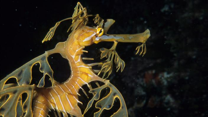 A leafy seadragon swimming