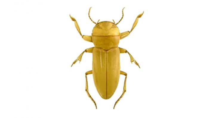 A starkly coloured yellow beetle