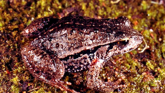 A dark frog seated on a yellow-pebble covered ground