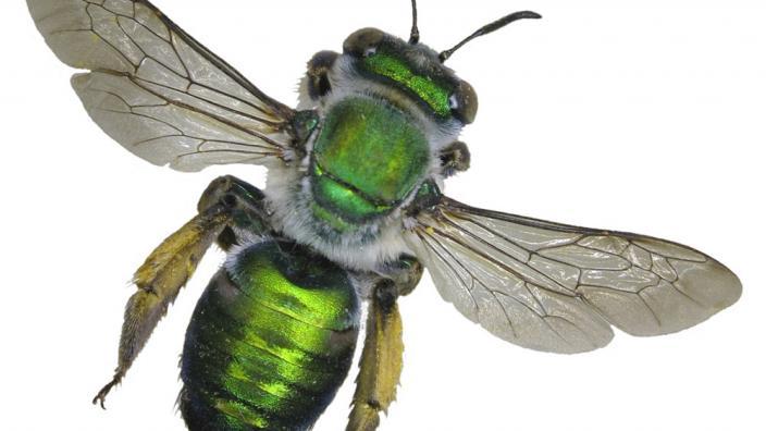 A bright green bee specimen